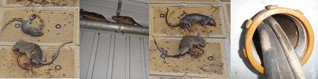ネズミ 駆除 店
